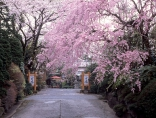 満開の桜、また来年お越しください。